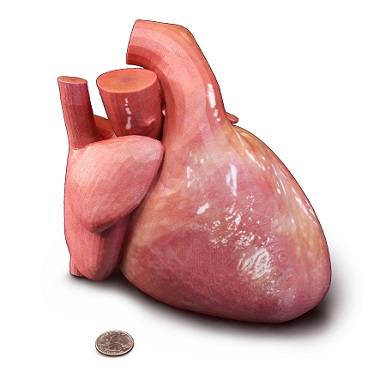 3D anatomy print of a heart
